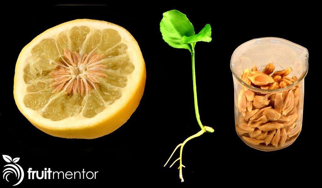 加州科学家正在人工授粉并用获得的杂交种子培育柑橘树,以克服致命的黄龙病。