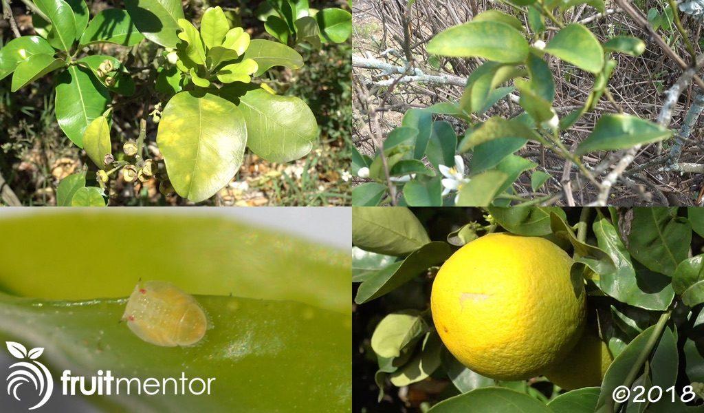 亚洲柑橘木虱传播黄龙病(HLB),该病会让柑橘果实口感变差并致死柑橘树。