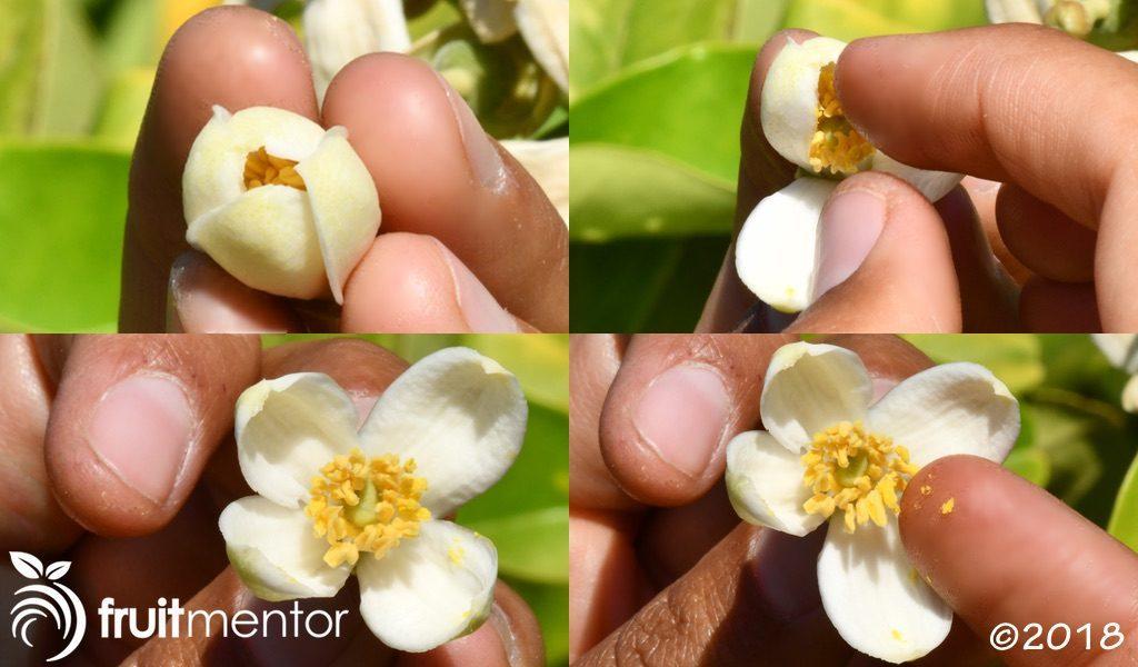 这朵花的花药正在脱落花粉。
