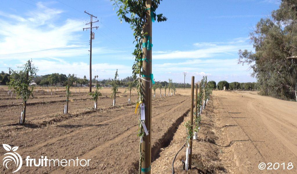 在田间种植的杂交柑橘树。