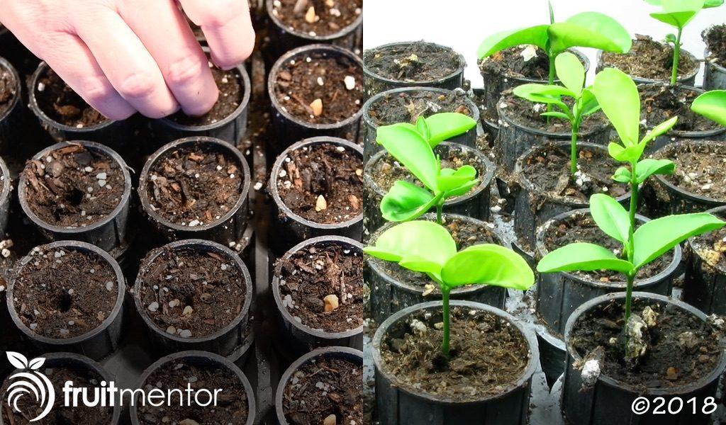 杂交种子的播种和生长。