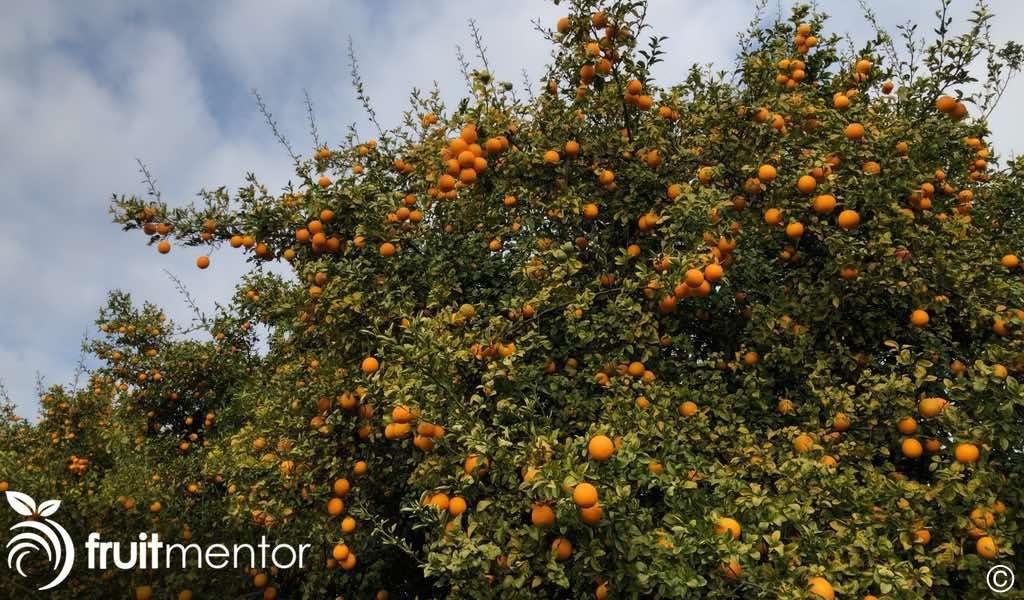 一棵柑橘砧木树。