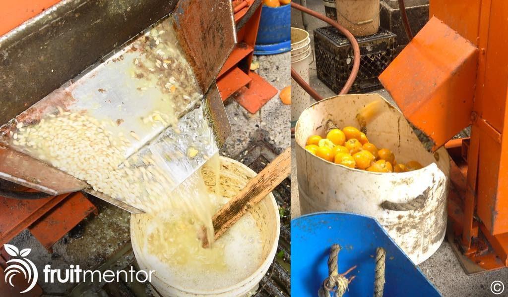 柑橘种子滑出提取机。