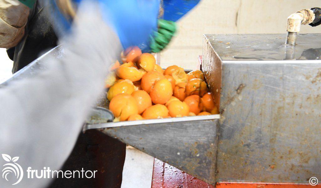 柑橘砧木果实再次通过提取机。