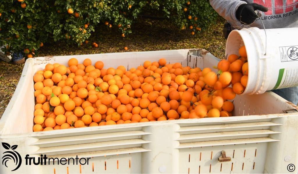 箱子里的柑橘砧木果实。