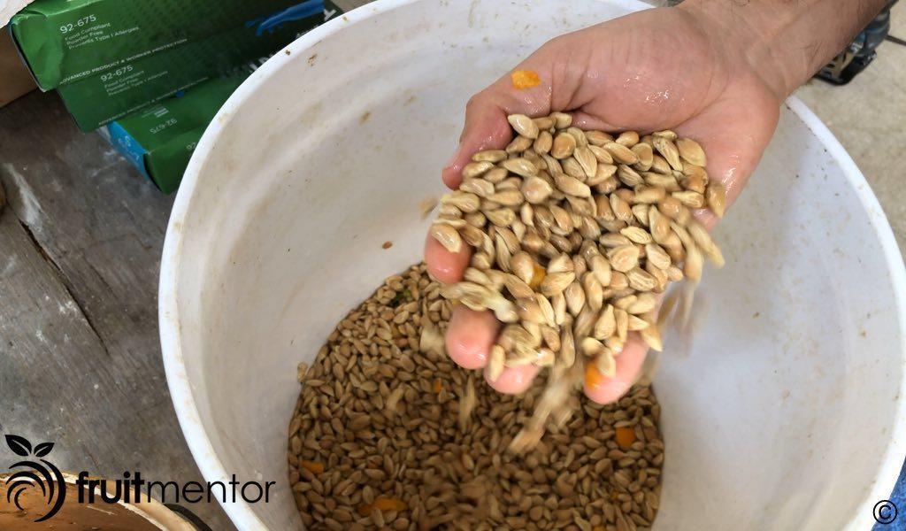 柑橘砧木种子粘滑且具有酸性。