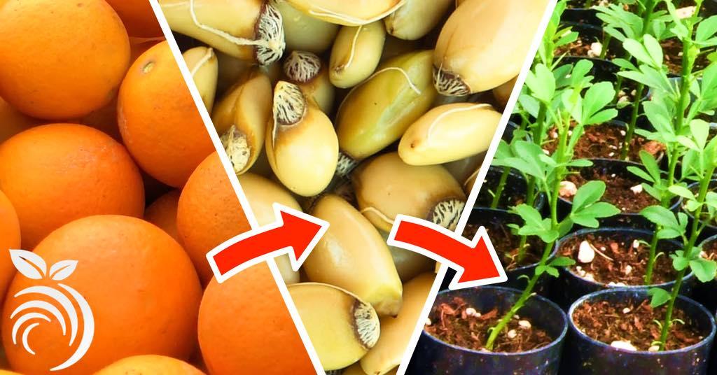 用种子培育柑橘类果树。