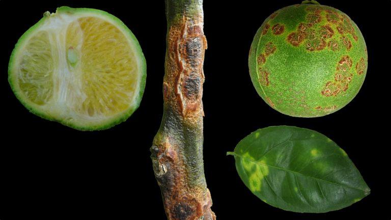 14 Nasty Citrus Diseases that You MUST Avoid