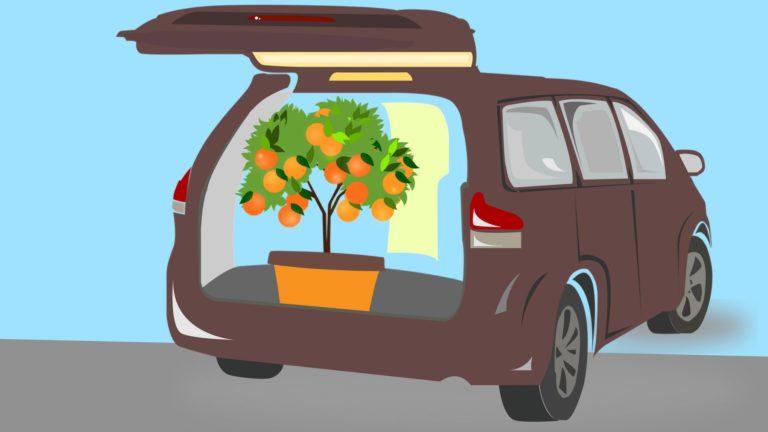 Dangers of Moving Citrus Trees in California