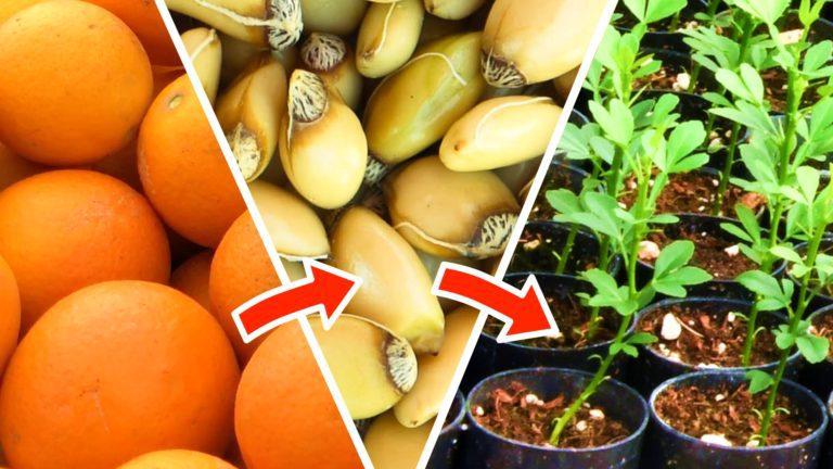 用种子培育柑橘类果树——从收获果实到种子萌发
