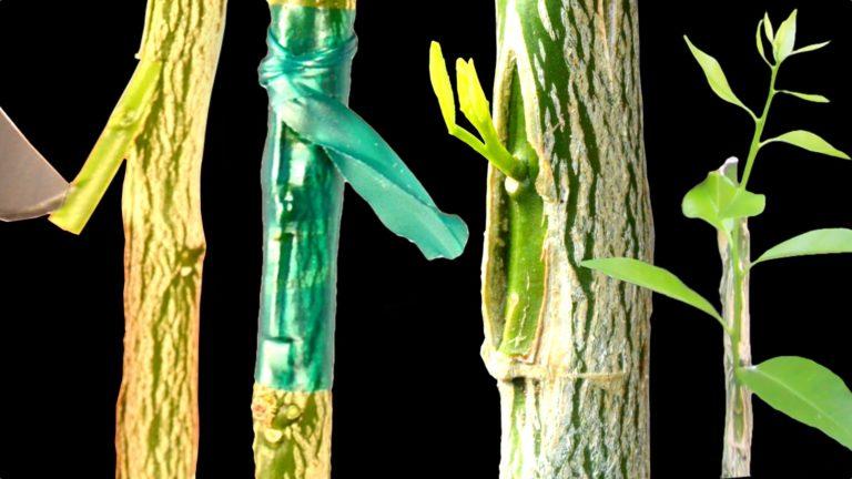 怎么嫁接果树——用T形芽接法进行桔子树嫁接